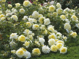 При выращивании в качестве почвопокровной розы куст «Надя Мейяндекор» стелется по земле, покрывая длинными (до 100 см) побегами большую площадь.