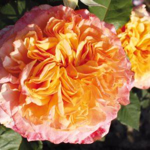 Цветки «Ла Вилла Котта» густомахровые, в каждом до 60 желто-оранжевых лепестков с медным отливом, розовых по периферии.
