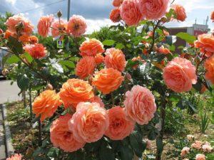 Владельцы розы Belvedere единодушно утверждают, что её цветки не выгорают под солнцем и хорошо держат дождь.