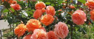 Роза Belvedere: описание, отзывы, преимущества и недостатки