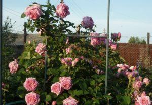 При выращивании в плетистой форме розе Bienvenue необходима подвязка к опоре.
