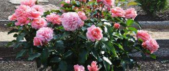 Роза Botticelli: особенности сорта, достоинства и недостатки