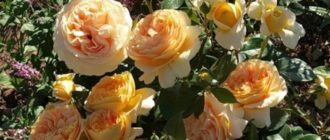 Роза Candlelight: как вырастить идеальную розу?Роза Candlelight: как вырастить идеальную розу?