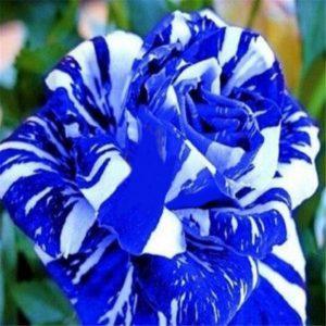 Синих роз не существует ни в природе, ни в селекции.