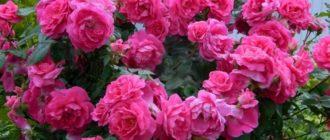 Розы серии Эксплорер: характеристика и примеры сортов