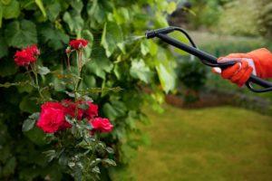 Опрыскивание роз фунгицидами проводится в сухую пасмурную погоду.