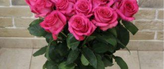 Сорт розы «Пинк Флоид»