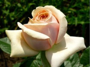 Бутоны розы «Афродита» раскрываются ярусно.