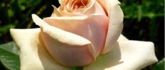 Роза «Афродита»