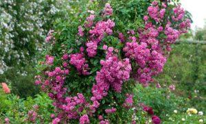 Розу «Супер Дороти» можно выращивать, как плетистую.