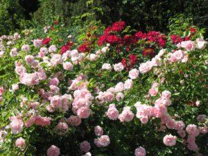 Хорошее место для парковых роз, когда с утра они находятся на солнце, а после полудня находится в полутени, например, от более высоких деревьев на дальнем плане групповой композиции.