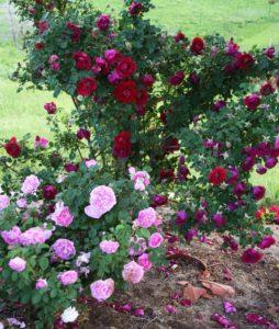 Лучшие соседи для сорта «Катбер Грант» - это другие розы.