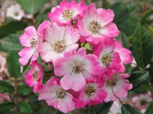 Простые цветки собраны в густые кисти, которые издали выглядят, как цветущие шары.