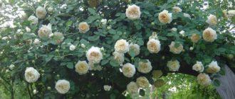 Роза «Клэр Остин»