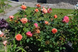 В групповой посадке розы «Ла Вилла Котта» располагают на расстоянии полуметра друг от друга.