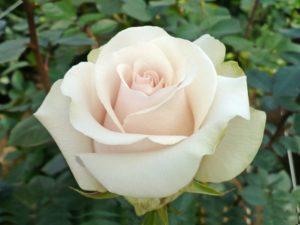 Нежно-кремовые лепестки розы «Амелия» в полдень приобретают серебристый отлив, а в вечерних сумерках становятся снежно-белыми.