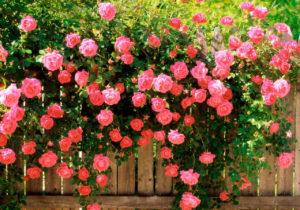 Поникшие к земле плети цветут обильнее прямостоячих.