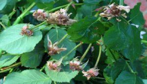 Если розы цветут повторно во второй половине лета, то срезать бутоны нельзя. Обрезка стимулирует рост почек и прорастание новых молодых побегов. В августе и сентябре такой прирост не нужен, молодые побеги не успеют окрепнуть до заморозков и обмерзнут. Проблема в том, что погибают не только новые веточки, но и одревесневший побег на котором они растут. Это чревато сильным повреждением розы зимой.