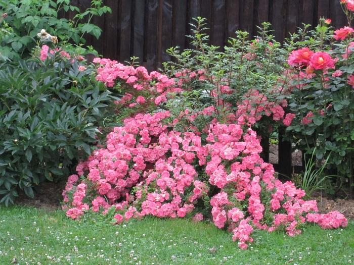 Почвопокровные розы для Подмосковья