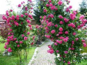 Роза «Лагуна».