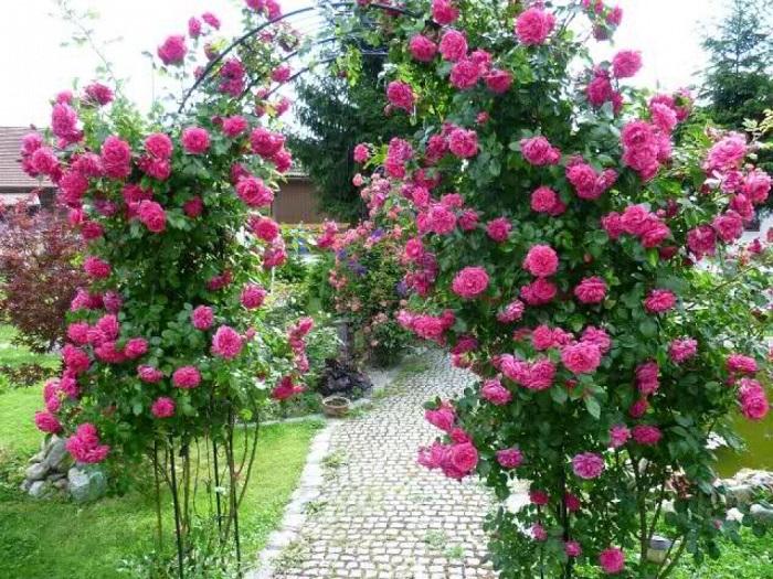 Крупные плетистые розы