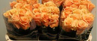 Роза «Примадонна»