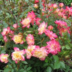 Розочки «Бэби Маскарад» по мере распускания бутонов изменяют цвет с желтого на кораллово-розовый, затем лепестки краснеют, пока не окрасятся в конце цветения в малиновый.
