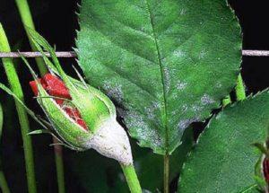 Если очаг поражения невелик, можно попытаться спасти листья, однако бутон придётся всё же обрезать – красивого цветка из него уже не будет, а лишний источник инфекции останется.