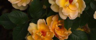 Плетистые розы Голден Клаймбер