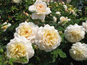 Бутон розы «Комтесса» раскрывается из овального в плоскочашевидный. Кремовые лепестки ближе к центру имеют желтовато-абрикосовый оттенок.