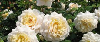 Роза «Комтесса»