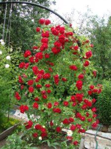 Ярко-огненный фонтан цветов от макушки до самого подножия.