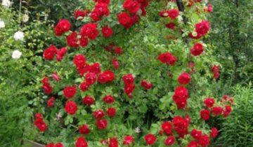 Зимостойкие сорта плетистых роз для различных регионов, цветущие всё лето