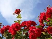 Применение банановой кожуры для роз как удобрение