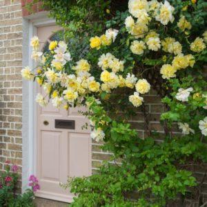 Розы Голден служат прекрасным украшением дома или сада, но для роста им нужно создать дополнительную опору.