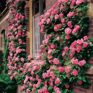 Сорта роз Клайминг (описание, отзывы, уход, фото)