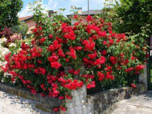 Розы клаймберы не растут выше 3-4 метров, поэтому их чаще используют для декорирования невысоких оград.