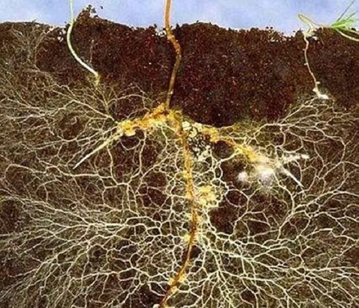 Почему не цветут розы: анализ причин и решение проблемы. Подсев бобовых сидератов в течение нескольких лет делает почву структурированной и богатой питательными веществами
