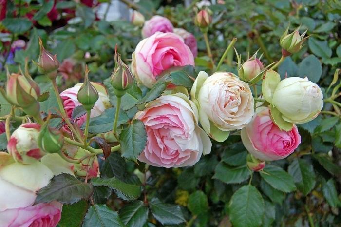 Жёсткие листья роз, подкормленных калием, становятся непривлекательными для вредителей.