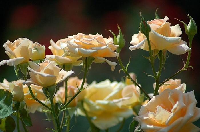 Для выращивания на юге Сибири нужно учитывать засухоустойчивость сорта и устойчивость цветка к выгоранию.