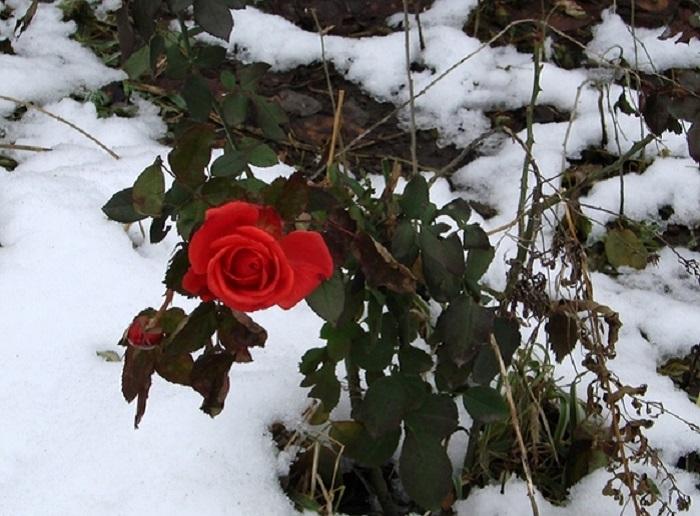 Многие розы Подмосковья цветут до заморозков, и слишком раннее укрытие для них опасней, чем позднее.