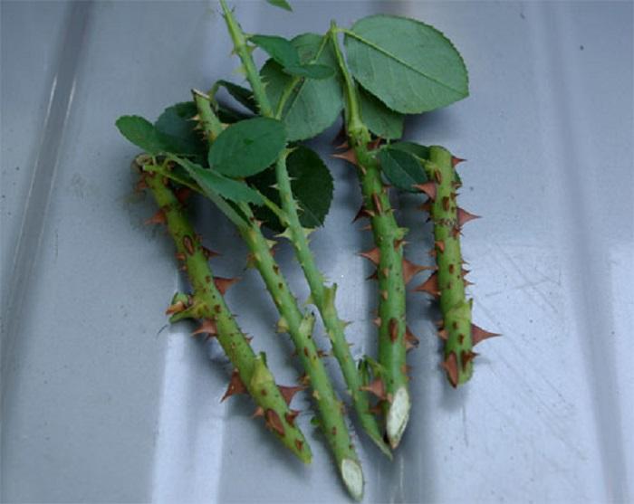 Черенкование наиболее доступный метод даже для начинающих розоводов. Эта разновидность вегетативного размножения обеспечивает прижившемуся растению генетическую память материнского материала.