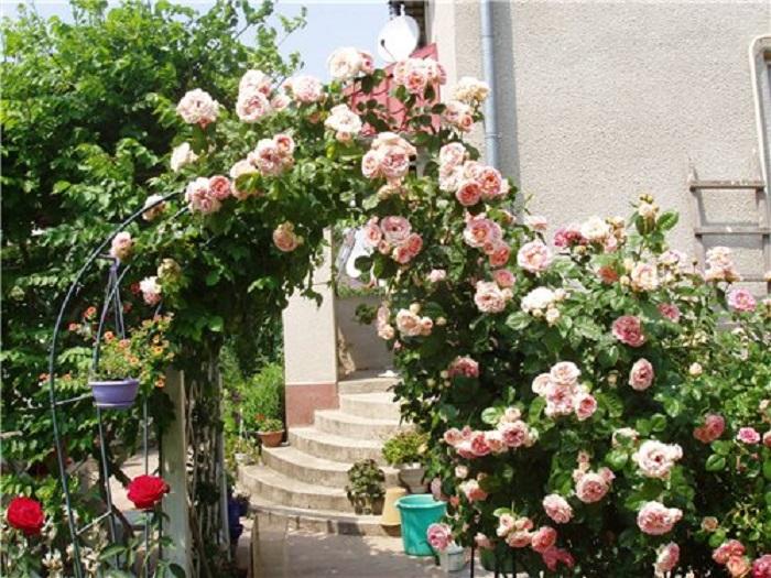 Известно немало случаев, когда в благоприятных условиях ветки плетистых роз нарастают свыше 10 м в длину