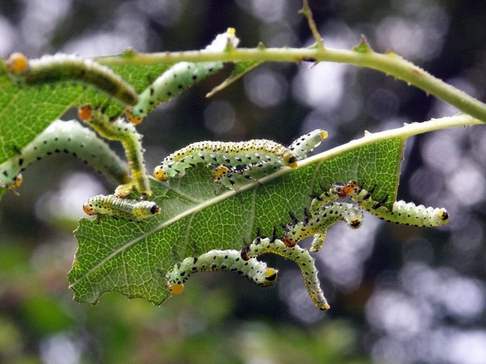 Большое количество гусениц объедает все листья полностью, от этого куст может погибнуть.