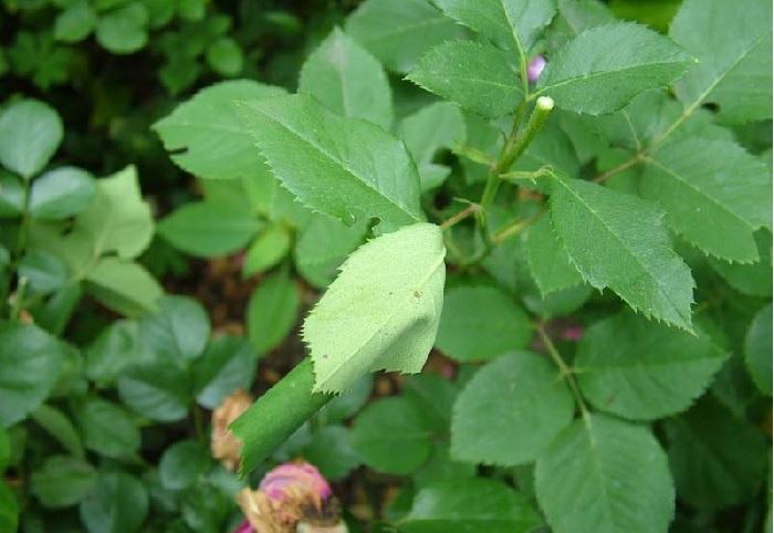 Листовертка на розах. Когда листья розы скрутились, это значит, что листовертка готовиться отложить потомство в защищенном месте.