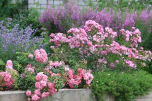 Всем сортам и типам роз для цветения нужны свет и тепло
