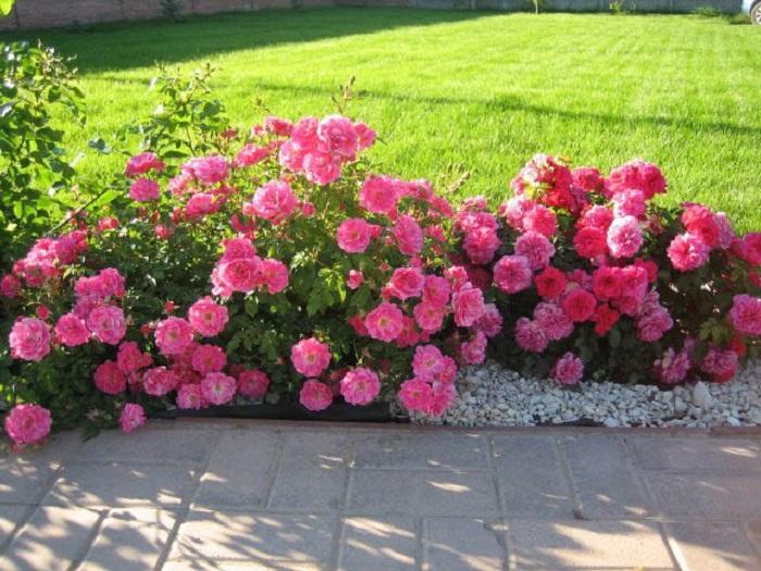 Чаще всего в бордюрах высаживают розы одного сорта примерно равной высоты 30 – 50 см.