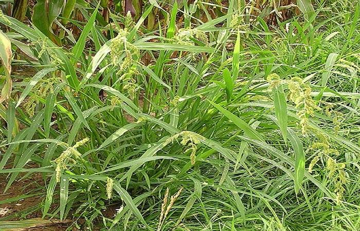 Ежовник обыкновенный (просо куриное) – типичный представитель кислой почвы.