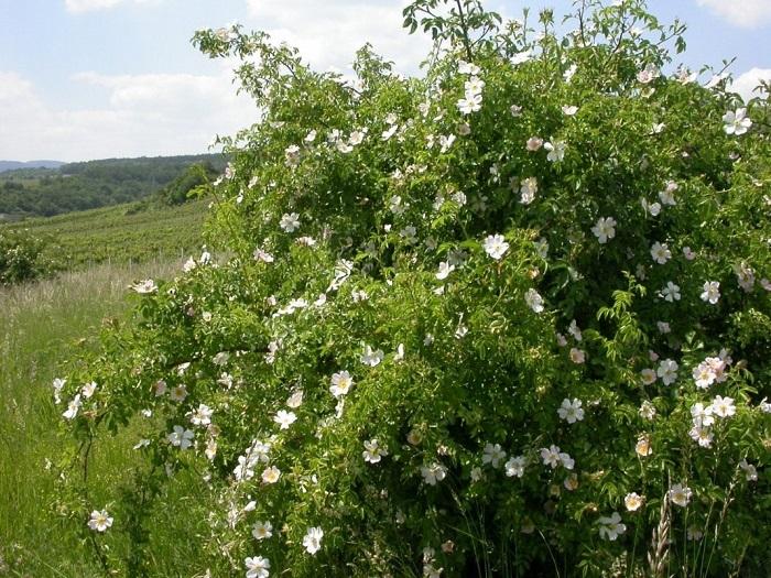 Экспериментальным путем специалисты установили, что в наших географичеcких условиях лучший вид роз для подвоя – Роза собачья (Rosa canina L.).