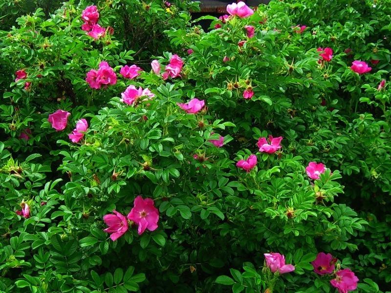 Роза морщинистая – основоположница селекции почвопокровных сортов